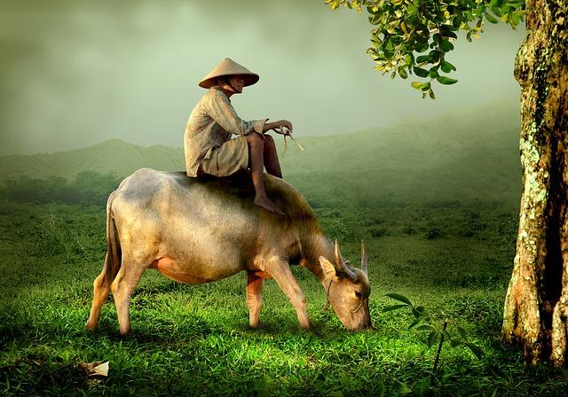 Svatá kráva