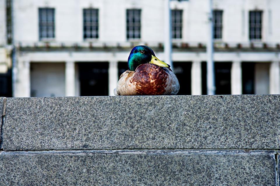 kachna na betonovém plotu